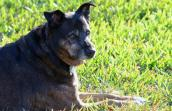 Bea, a senior Rottweiler and shepherd mix, is nice and gentle