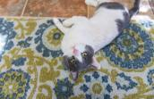 Chet the former outdoor tomcat is now so loving, affectionate and trusting