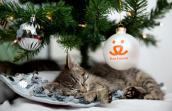 Tabby kitten sleeping under a Christmas tree with Best Friends ornament