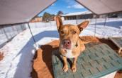 Rugby, a pit bull mix, gains a brand new outlook on life at Best Friends Animal Sanctuary