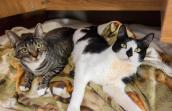 Bess and Bill, two cats with feline cerebellar hypoplasia