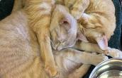Gru and Nefario the tabby cats adopted together