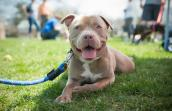 Porkchop the pint-sized pit bull terrier mix is picture perfect
