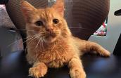 Danny, an orange tabby survivor of feline panleukopenia virus