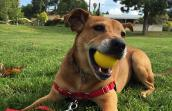 Chance the German shepherd mix with a ball in his mouth