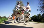 Dog walking during Strut Your Mutt in Los Angeles