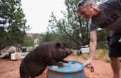 Kennedy the potbellied pig getting clicker training from Glenn
