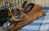 Ginger the rabbit is available for adoption