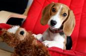 Beagle with a stuffed toy