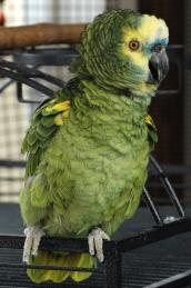 Amazon parrot named Cairo