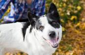 Black and white heeler mix dog