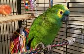 Roz the blue-fronted Amazon parrot lands in her perfect home
