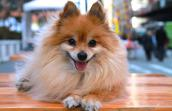 Nicolas the senior Pomeranian