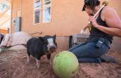 Paisley, a so-called micro piglet, learns the ropes at Best Friends