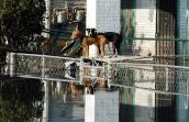 Dogs on top of car following Hurricane Katrina