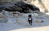Roxy the pit bull terrier on the beach