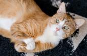 Roo the orange tabby cat
