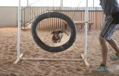 Drusilla jumping through a hoop during agility