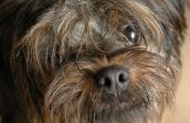 Scruffy terrier rescued from a Nebraska puppy mill is being fostered