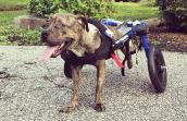 Brindle dog in wheelchair