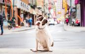 White and brown pit-bull-terrier-type dog with tilted head on a leash in front of a street scene in Chinatown in New York City