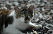 Brown tabby and white cat with a left ear-tip who is part of the Atlanta TNR program called Feral Freedom