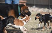 Luther the bloodhound helps socialize Luther, Mallard and Merganser the puppies