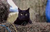 Hansel, a black domestic shorthair cat, sitting on some straw