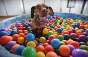 Drusilla the dachshund in a multi-colored ball pit in a kiddie pool