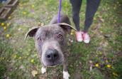 Gray pit bull terrier with a graying muzzle on a purple leash with someone standing behind her