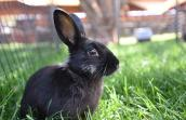 Coop the black bunny in a pen in the grass