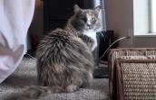 Medium-haired dilute calico cat next to a sisal cat scratcher