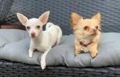 Ella the Chihuahua sitting on a cushion next to Roo the dog
