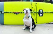 Charger the dog in front of a paddle board and paddle