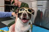 Suki the dog wearing protective glasses during a laser therapy session