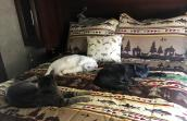 Bentley the cat on a bed with some other cats in his home