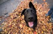 Winnie, a black dog in a pile of fallen leaves