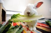 White rabbit holding a piece of romaine lettuce in his mouth while standing on a handmade striped blanket