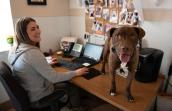 Timmy, a brown and white pit-bull-type dog, standing on a desk where a woman is smiling and working