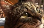 Close-up of the face of Dunkaroo, a brown tabby cat