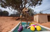 Pit bull terrier Dingo standing behind a Kuranda bed covered in dog toys