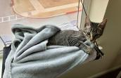 Lincoln the tabby kitten lying in his favorite blanket by a window