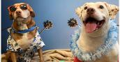 Mister and Misses the dogs dressed up in a Hawaiian shirt, leis and sunglasses from their honeymoon