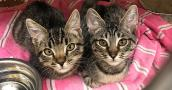 Two brown tabby kittens from OC Animal Care on a pink striped blanket