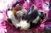 River the calico cat lying on a pink blanket while her kittens nurse