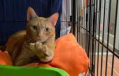 May the orange tabby cat in a kennel lying on some blanket and reaching toward the camera with one front paw