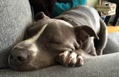 Gary, a gray and white pit bull terrier, sleeping on a couch