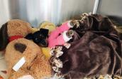 Major Houlihan the puppy lying in a kennel under a blanket, next to a stuffed animal, with two pink casts on her her front legs
