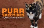 Meow the calico cat looking at camera with the the following words, PURRspectives from Sanctuary Cats