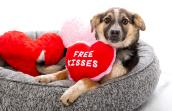 """Puppy lying in a dog bed with a """"Free Kisses"""" heart toy"""